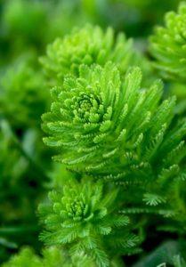 Jó minőségű spirulina + chlorella alga tabletták
